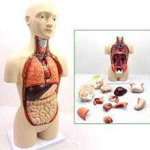 TORSO03 (12014) Anatomia Médica 45cm Alto Bissexual Humano Torso Anatômico Modelos Educativos