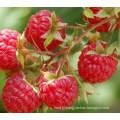 IQF Freezing Organic Raspberry Hr-16090903