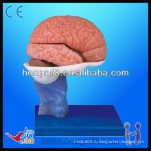 Современная модель человеческого мозга с анатомией мозга высокого качества с высоким качеством