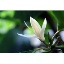 Óleo essencial de folha de Michelia 10ml