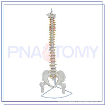 PNT-0121 85cm Flexible spinal column model
