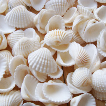 Wholesale Natural Beach Seashells For Crafts