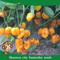 Suntoday híbrido vegetal F1 Orgânico para cima pimenta em conserva jalapeno sementes amarelas f1 pimenta hebanero sementes vegetais (22020)