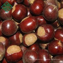 сохранились свежие орехи каштана для продажи