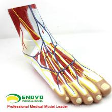 MUSCLE12 (12036) Modèle d'anatomie du muscle plantaire du pied humain en 3 parties 12036