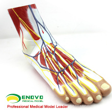 MUSCLE12(12036) Human Foot Plantar Muscle Anatomy Model in 3-Parts 12036