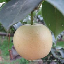 2016 Frais Nouvelle Crop Golden Pear / Couronne Poire