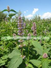 Agastache rugosa extract