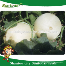 Suntoday Easy picking Round shape very soft flesh sale vegetable hybrid F1 melon vegetable harvester seeds(18013)