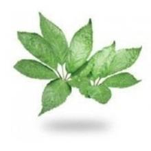 Extracto de hoja de Notoginseng, Notoginsenósido de Notoginseng, Triterpenos de hoja de Notoginseng