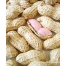 2015new Crop Fresh Peanut en Shell