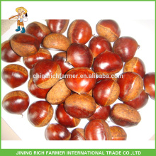 Top Fresh Chestnut