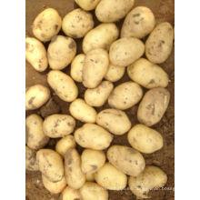 Nueva papa china fresca de cultivo (150-200G)