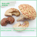 BRAIN07(12404) Life Size Human Anatomical Brain with Arteries - 9 Parts, Anatomy Models > Medical Brain Models