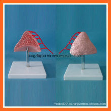 Modelo anatómico médico de la glándula suprarrenal humana