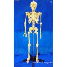 Modelo Médico Esqueleto Humano de 168cm para Ensinar (R020103A)