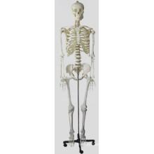 Medium Skelecton Model