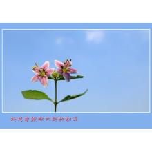 Baga de Goji da fruta dos cuidados médicos da nêspera