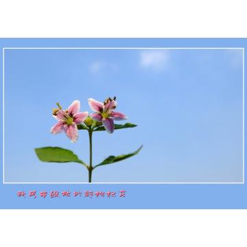 Medlar Health Care Fruit Goji Berry