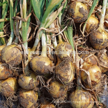 AON011 Huangyan early maturity hybrid onion seeds price