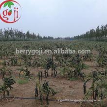 Manfacturer supply Black Goji berry extract powder