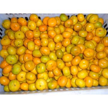Oranges mandarines fraîches Sweet Baby 3 - 5,5 cm, 10,58 g Suga Modèle No: O104 Min. Commande: 1 Sweet Baby Fresh Mandarin Oranges 3 - 5,5 cm, 10,58 g de sucres, fruits frais Détail rapide: Style: Frais Type de produit: Agrumes Type: Orange Type de cultur