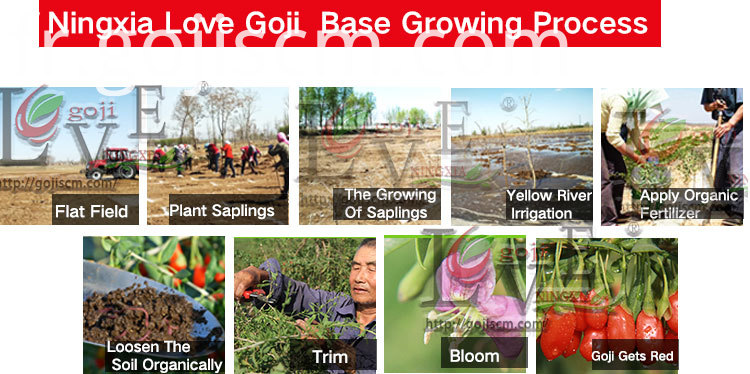 Conventional Goji Hot Sale growing process