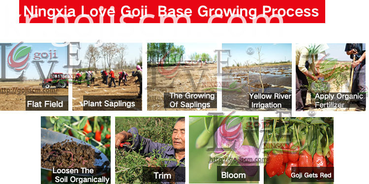 Low Pesticides Goji growing process