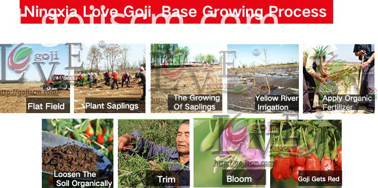 High Quality GOJI BERRY growing process