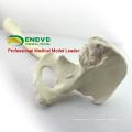 TF03 (12314) os synthétiques - articulation de la hanche gauche avec fémur, modèles SWABone / squelette du membre inférieur