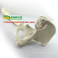 TF03 (12314) Synthetic Bones - Left Hip Joint with Femur ,SWABone Models / Skeleton of Lower Limb