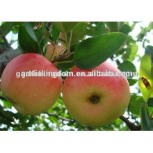 China Produced Fresh Gala /Delicious Red Gala /Fresh Red Gala
