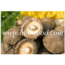 Différentes tailles Smooth Shiitake Champignons