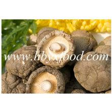 Diferentes tamanhos secos Shiitake liso Cogumelo