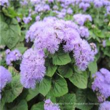 Fournisseur de graines de légumes Suntoday asiatique non GMO jardin indoesnisa Mayasia Sakata fleur graines Agastache