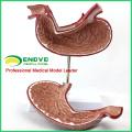 STOMACH02(12535) пищеварительной системы человека модель медицинских наук желудка Анатомия