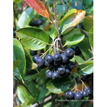 Black Chokeberry Extract Aronia Melanocarpa Extract