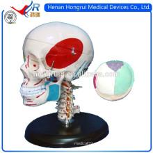 Modelo de cráneo de plástico ISO con huesos y músculos coloreados