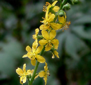 agrimony extract, saponins