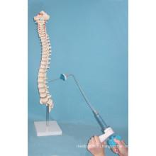Скелет с позвоночным позвоночником с сундуком для медицинской практики