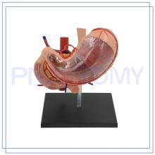 PNT-0458 vente chaude 12 pièces 4d modèle de l'estomac humain