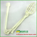 TF14 (12325) Foam Cortical Shell Normal Anatomy Large Right Arm Bones Orthopaedic Model