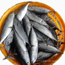 Цельнокруглая замороженная рыба бонито Auxis Thazard Skipjack