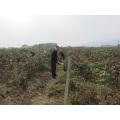 Individual de congelación rápida orgánica Blackberry Zl-00512