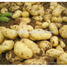 Chinese fresh potato export to dubai market