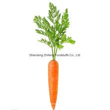 Nouvelle carotte de la province du Shandong