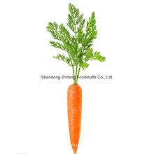 Cenoura nova colheita da província de Shandong