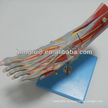 ISO Músculos del modelo del pie con los vasos y los nervios principales, anatomía del músculo