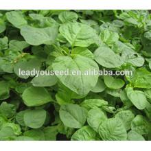 MAM022 Qinglong maturidade precoce verde sementes de amaranto chinês para o plantio