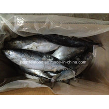Big Size New Catching Bonito Fish for Market